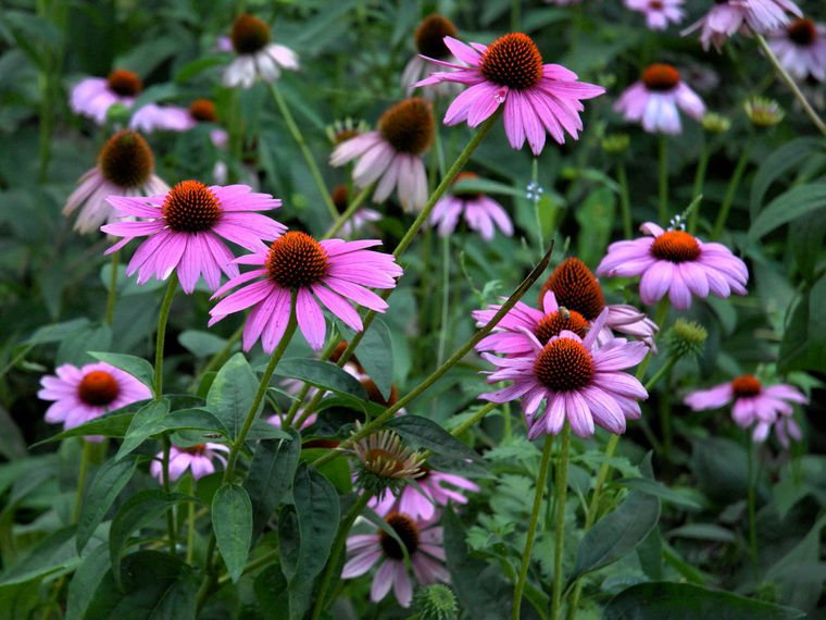 2500 Purple Coneflower seeds Echinacea Purpurea bulk herb Comb S/H A25