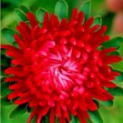 50 Aster seeds(  Callistephus Tall Paeony Duchess Scarlet  ) *SHIPPING FROM US* CombSH D66