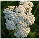2000 White yarrow seeds  Achillea millefolium *Herb* Medical CombSH A21