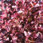 Red Salad Bowl Lettuce 3000 seeds  great 4 salad / ez grow *SHIPPING FROM US* CombSH L22