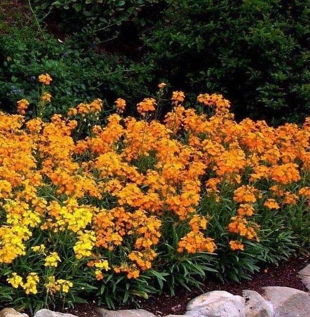 Siberian Wallflower Cheiranthus allioni 500 seeds *Fragrant* Ornamental * *SHIPPING FROM US* CombSH