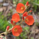 Desert Globemallow Sphaeralcea ambigua  100 seeds * cut flower * *SHIPPING FROM US* CombSH B38