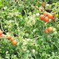 50 Sub Arctic Plenty Tomato seeds Heirloom* Non GMO * ez grow * *SHIPPING FROM US* CombSH D37