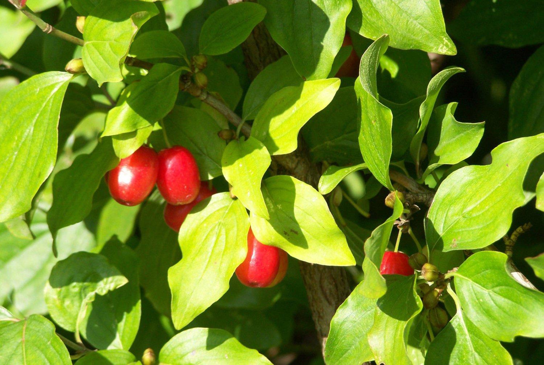 5 Cornelian Cherry seeds*Cornus mas* Ornamental Tree seeds �edible*hardy*Bonsai�