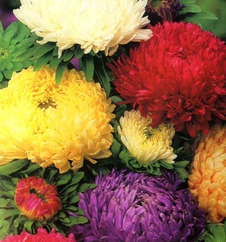Aster Tall Paeony mix 100 seeds * Cut flower * Gorgeous * *SHIPPING FROM US* CombSH D56