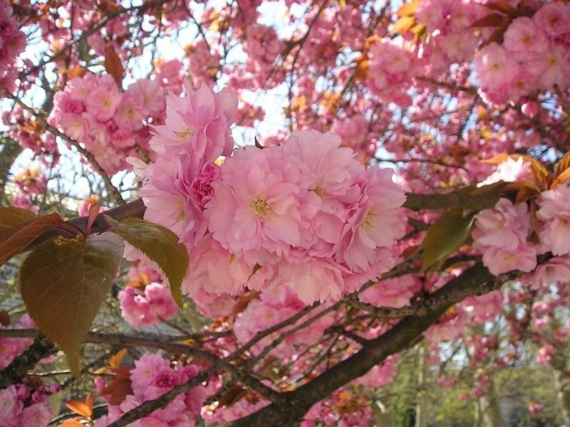 100 Japanese Cherry Sakura seeds Prunus serrulata * Bonsai * Ornamental * *SHIPPING FROM US* CombSH