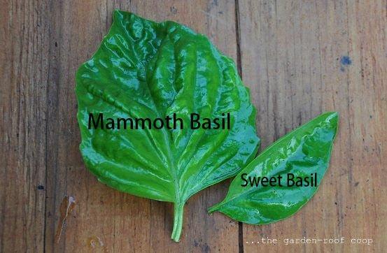Mammoth basil (Ocimum basilicum) 100+ seeds Medicinal, Tea , herb ez grow *SHIPPING FROM US* CombSH