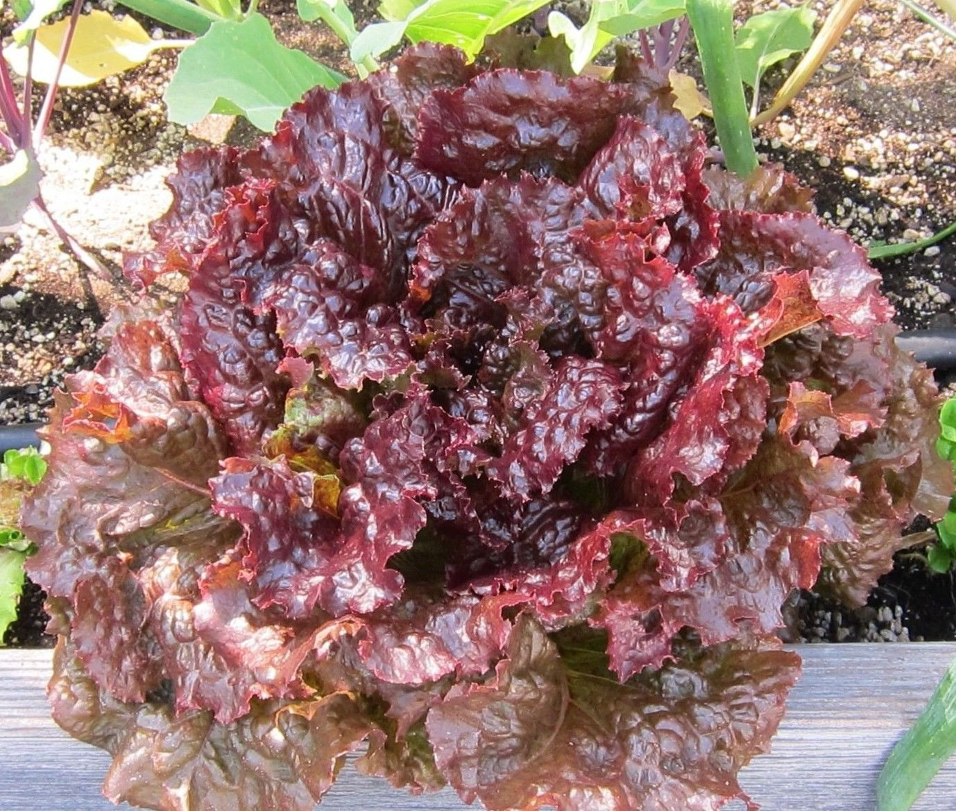 Ruby leaf Lettuce Lactuca sativa 3000 seeds * NON GMO * ez grow * *SHIPPING FROM US* CombSH F46