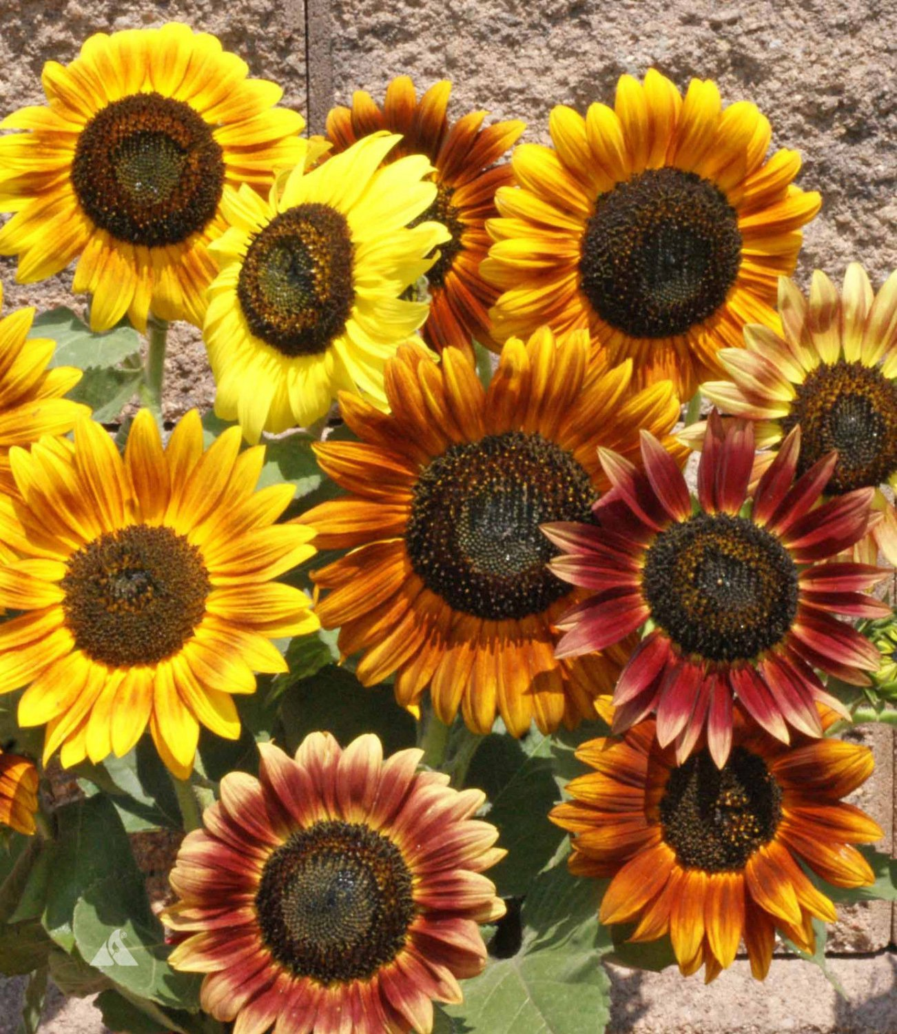 Sunflower Autumn Beauty Mixed Color 100 seeds * Cut Flower * *SHIPPING FROM US* CombSH J24