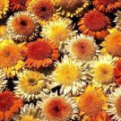 Calendula Kablouna Mix 50 seeds * unusual form* Cut flower * herbal tea * *SHIPPING FROM US* CombSH