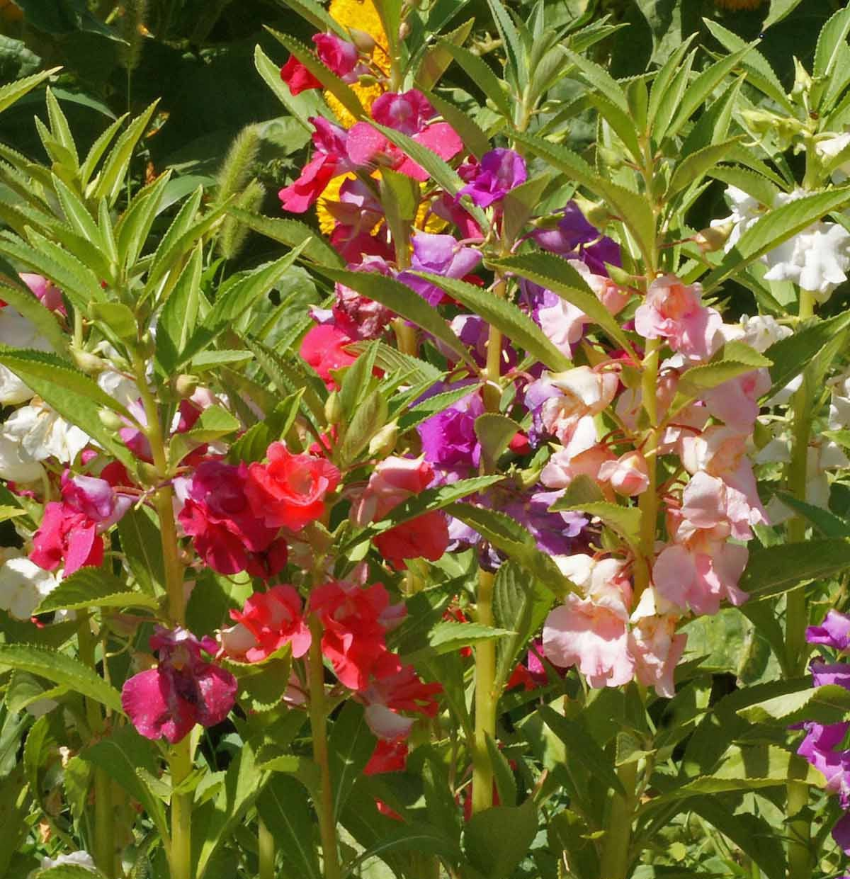 Dwarf Balsam Tom Thumb Mix 50 seeds Impatiens balsamina * Easy Grow * *SHIPPING FROM US* CombSH A61