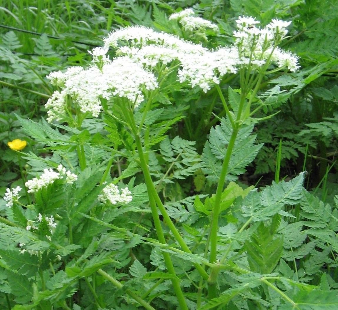 Caraway Carum carvi 400 seeds * Grow your own herb * ez grow * *SHIPPING FROM US* CombSH E25