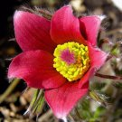 Red Pasque Flower Amenone Pulsatilla Vulgaris 25 seeds * perennial * *SHIPPING FROM US* CombSH B31