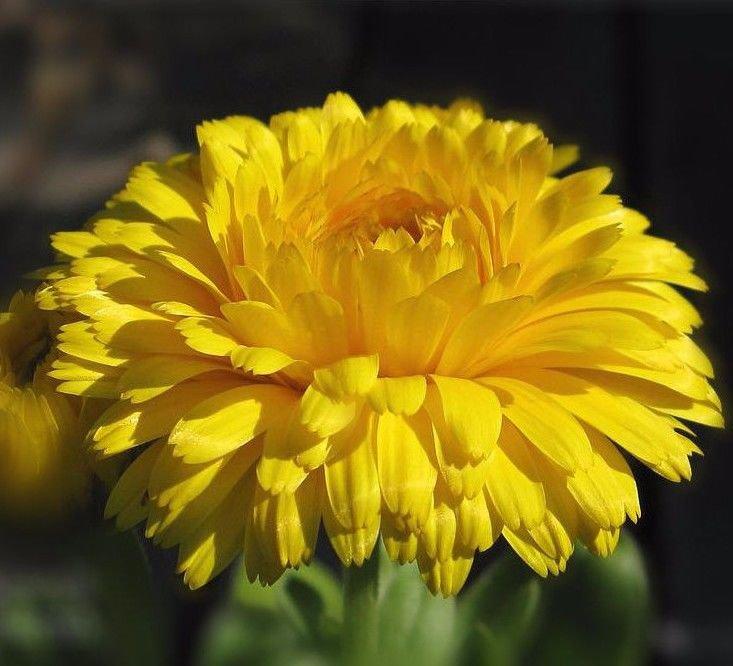 Calendula Bonbon Yellow 250 seeds * herbal tea * Cut flower *Showy * *SHIPPING FROM US* CombSH K43