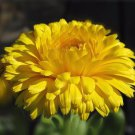 Calendula Bonbon Yellow 250 seeds * herbal tea * Cut flower *Showy * *SHIPPING FROM US* CombSH K43