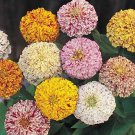 Zinnia Peppermint Stick Mix 100 seeds * Unusual Color *Cut Flower* *SHIPPING FROM US* CombSH D33