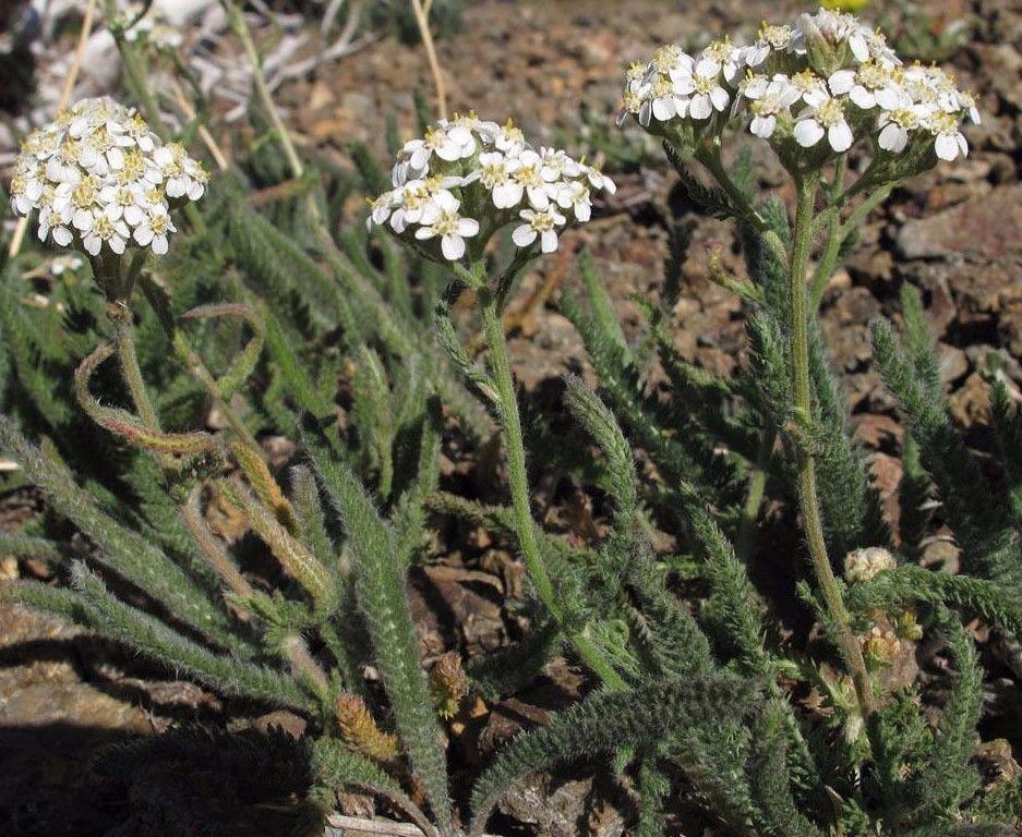 Western yarrow Achillea millefolium var. occidentalis 1000 seeds *SHIPPING FROM US* CombSH A71