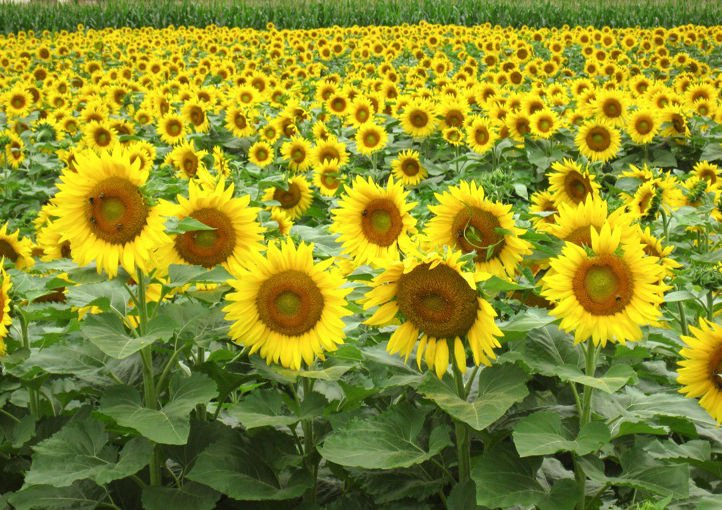 Black oil Sunflower 50 seeds * Great bird food * Non GMO* *SHIPPING FROM US* CombSH J31