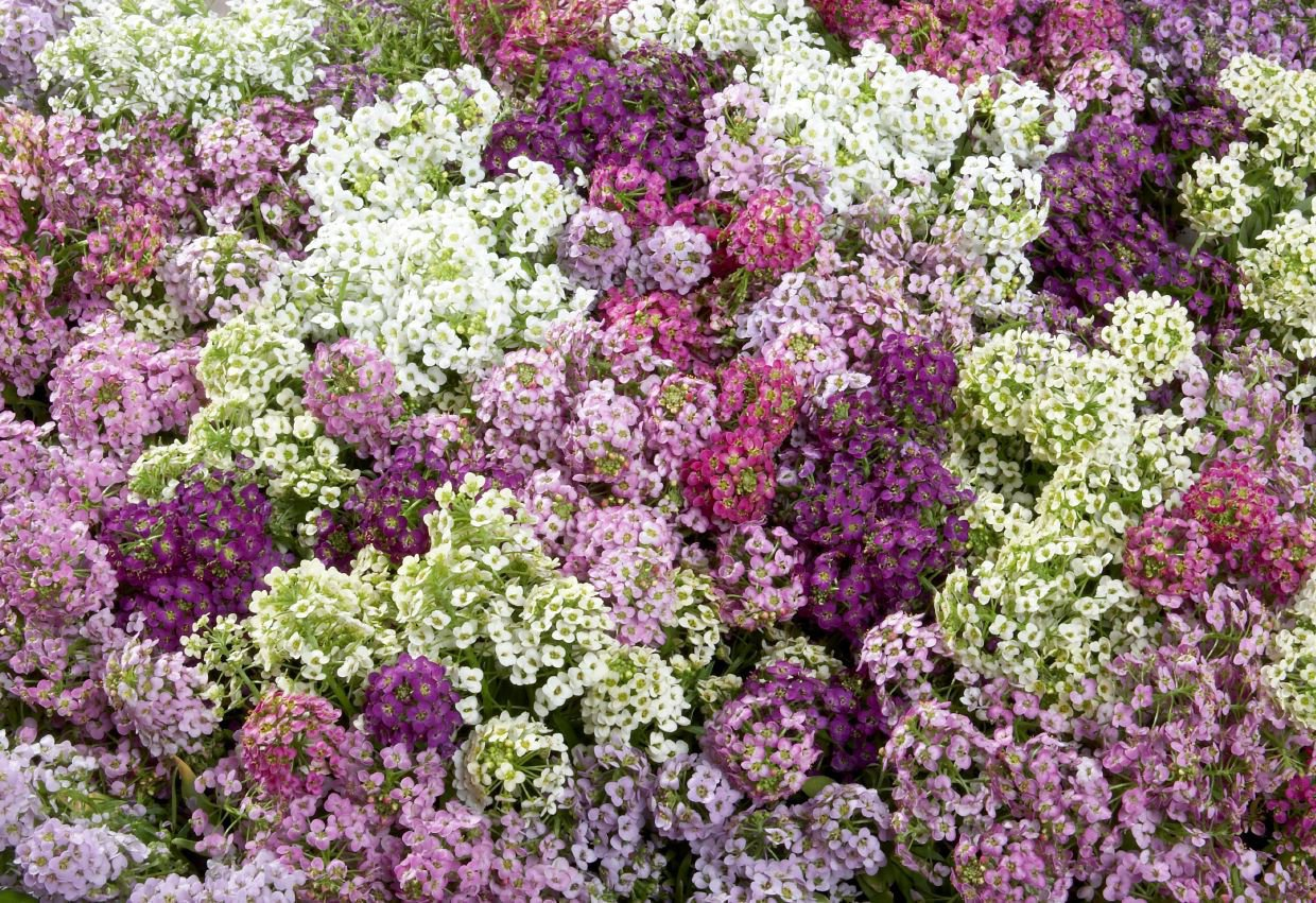 100 Alyssum seeds  Lobularia Maritima Paletta Mix   Annual Flower *SHIPPING FROM US* CombSH 2B14