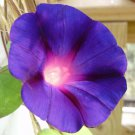 Grandpa Ott  Morning Glory 100 seeds Ipomoea Purpurea * Easy Grow * *SHIPPING FROM US* CombSH D13