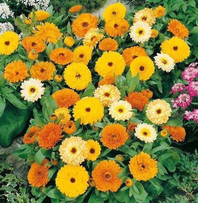 Calendula Fiesta Gitana  100 seeds * Cut flower * herbal tea * *SHIPPING FROM US* CombSH J42