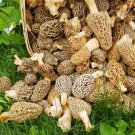 Morel Mushroom Spores in Sawdust Mushroom Seed Spore Grow Kit From WV