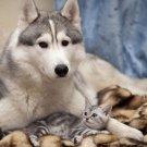 Cute Dog Siberian Husky Cat POSTER 32x24