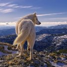 White Wolf Highlands Wild Nature Animals Wall Print POSTER Decor 32x24