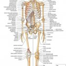 Skeletal System Anatomical Chart Wall Print POSTER Decor 32x24
