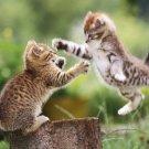 Kittens Playing Poster Photo Print 32x24