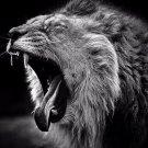 Lion Yawning Poster Photo Print 32x24