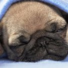Pug Dog Puppy Poster Photo Print 32x24