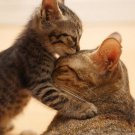 Cat And Kitten Poster Photo Print 32x24
