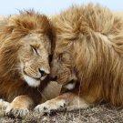 Lions Cuddling Poster Photo Print 32x24