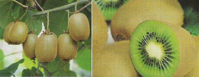 ACTINIDIA - KIWI FRUIT or CHINESE GOOSEBERRY. 25 Seeds. # G135-25.