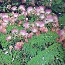 ALBIZIA - PERSIAN SILK TREE. 20 Seeds. # G146-20.
