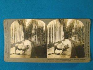 Kandy Ceylon palm botanical garden stereoview stereograph stereoscope card Keystone antique 1910