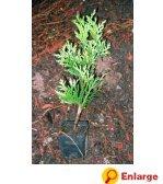 Cedar Green Giant