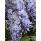 Japanese Wisteria Amethyst Blue