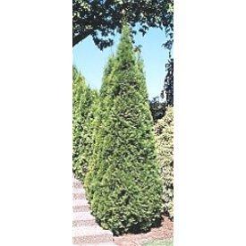 Arborvitae Emerald Green Pyramidal