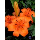 Daylilies Lilium Orange Pixie Selling in Bags of 3!