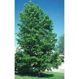 Hybrid Poplar, 1-2'