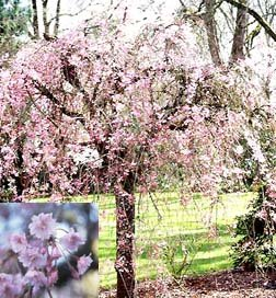 Weeping Yoshino Cherry Tree