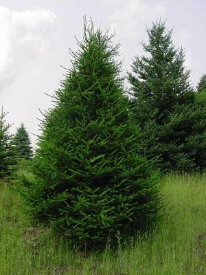 Norway Spruce - 6-18'' Bareroot