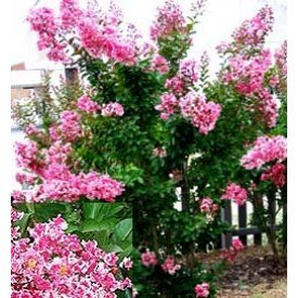 Crape Myrtle 'Peppermint' (Lagerstroemia indiica)