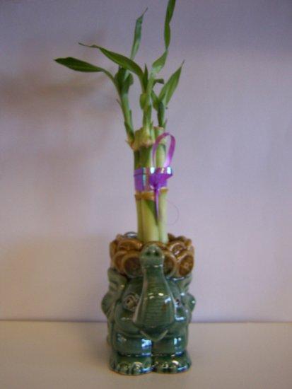 lucky bamboo (2)