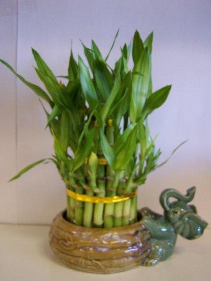 lucky bamboo (3)