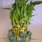 lucky bamboo(4)
