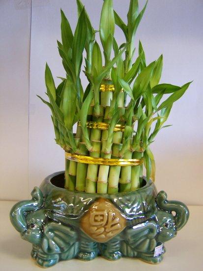 lucky bamboo(5)