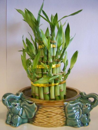 lucky bamboo (6)